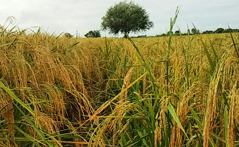 +System of Rice Intensification